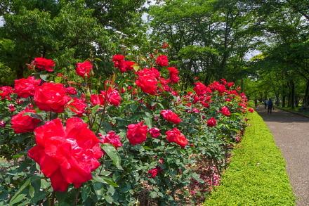 バラが咲き誇る園内