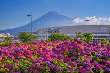 咲き誇るあじさいと富士山の風景