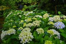 花で覆われてきたあじさい植栽エリア