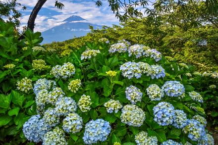開花が進むあじさい越しに見る富士山