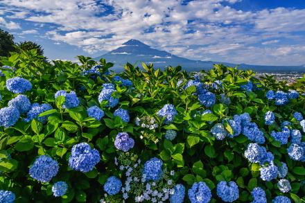 岩本山の丘陵地に広がる茶畑の一角に植えられたあじさいは見頃