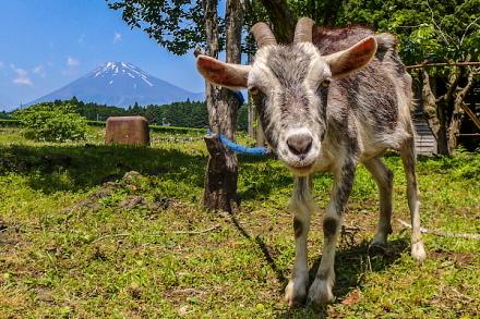 ヤギと富士山のショット