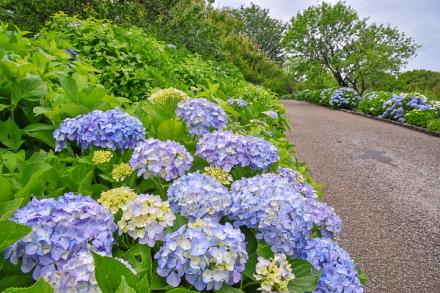 開花が進む岩本山公園のあじさい