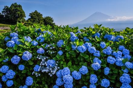 見頃が続く岩本山の茶畑脇のあじさい