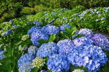 爽やかな青色のあじさいが咲き誇る