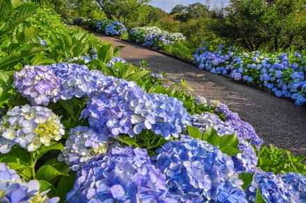 あじさい咲く素敵な散歩道