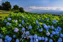 あともう少し楽しめる岩本山の茶畑脇のあじさい