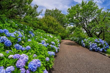 まだ十分にあじさいの花を楽しめる岩本山公園