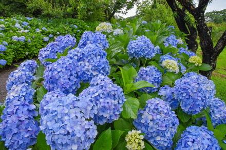 咲き誇る青色のあじさい