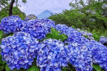 岩本山公園のあじさいと富士山