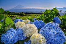 岩本山丘陵地の茶畑のあじさいと富士山