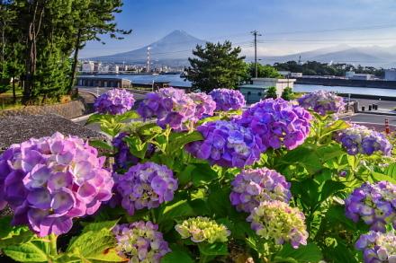 ふじのくに田子の浦みなと公園のあじさいと富士山