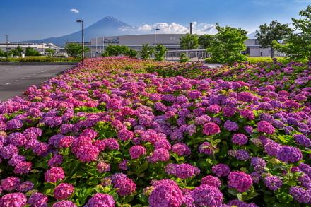 ふじさんめっせのあじさいと富士山