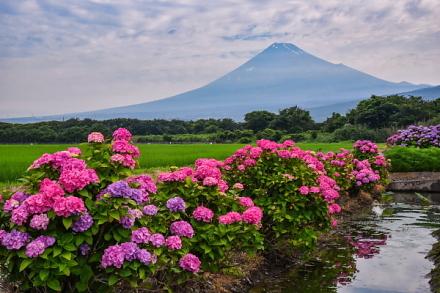 富士市東部田園地帯のあじさいと富士山