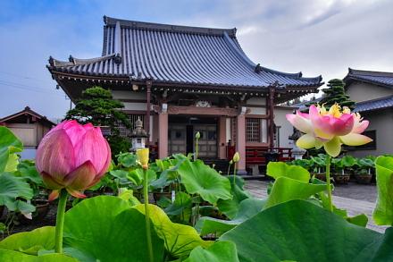 代通寺の境内に咲く蓮の花