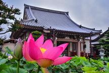 本堂と蓮の花の風景