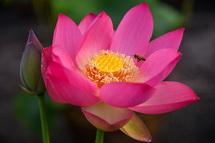 蓮の花のアップ