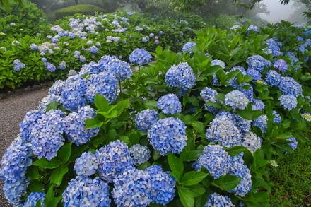 園路沿いに花咲くあじさい