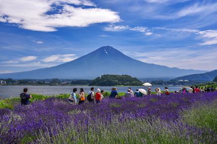 賑わう大石公園のラベンダー畑と富士山の風景