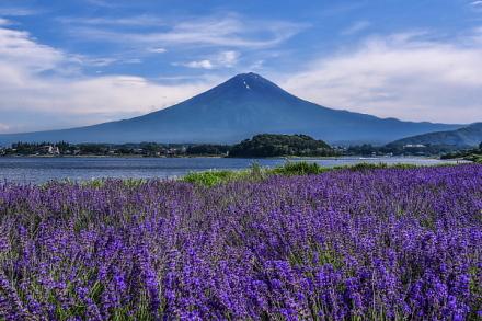 一面に咲き誇るラベンダーと富士山の風景