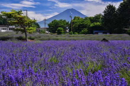 八木崎公園のラベンダーと富士山の風景