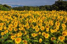 岩本山丘陵地の新東名高速道路付近にあるひまわり畑