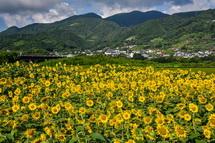 岩松中学校近くの富士川沿いにあるひまわり畑