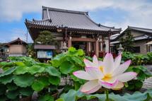蓮の花と本堂の風景