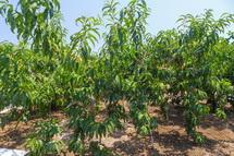 鈴川地区にある桃畑