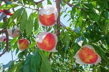 美味しそうな桃の実