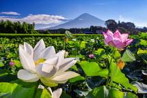 蓮の花と富士山の風景