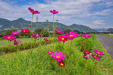 一部で咲き始めた雁堤のコスモス