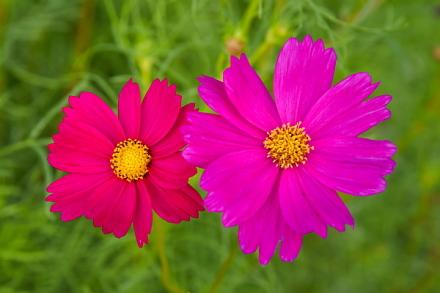 咲き始めたコスモスの花をアップ