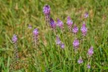 群生するツルボの花