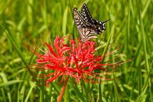 気の早い彼岸花とアゲハチョウ