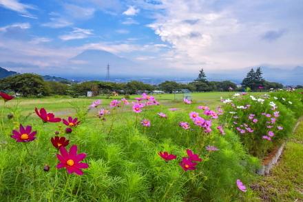 徐々に花開く雁堤のコスモスと霞み富士