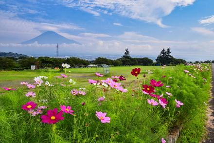 コスモスと富士山の風景を楽しめるようになってきた