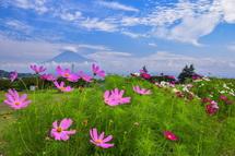 徐々に開花が進むコスモスと富士山