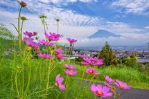 コスモスの花と富士山のコラボ