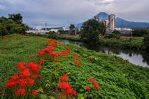 滝川の土手沿いに咲く彼岸花