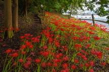 富士と港の見える公園に咲く彼岸花