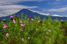 2~3分咲き程度のコスモスと富士山の風景