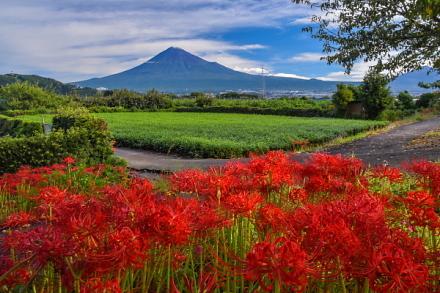 見頃の彼岸花と富士山の風景