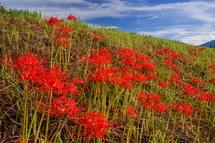 土手の斜面に咲き誇る彼岸花