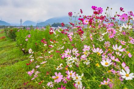 一部で咲き誇るコスモス