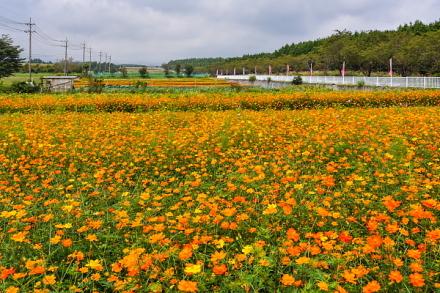 キバナコスモスを中心に咲き誇る