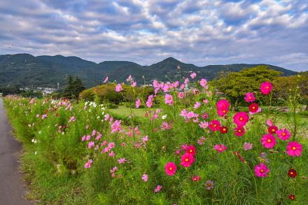 開花が進んできた雁堤のコスモス
