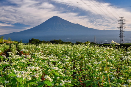 岩本山のそば畑と富士山の風景