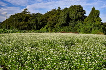 一面に広がるそばの白い花