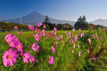 咲き誇るコスモスと富士山の風景